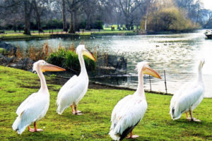 Pelicans in St James's Park, London